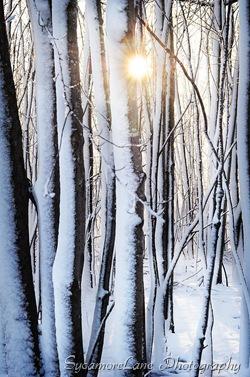 snowy trees-w