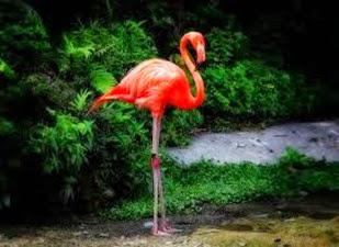 Amazing Pictures of Animals, Photo, Nature, Incredibel, Funny, Zoo, Flamingos or Flamingoes, Phoenicopteridae,  Aves, Bird, Alex (9)