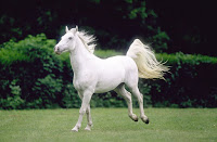 Lipica Horses