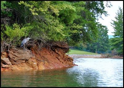 19g - Tuesday - Nottely Lake Kayak - Great Blue Heron on edge of island