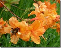 azalea and bee