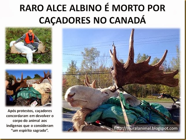 RARO ALCE ALBINO É MORTO POR CAÇADORES NO