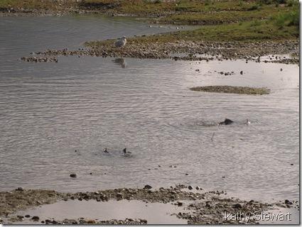 Salmon close to shore