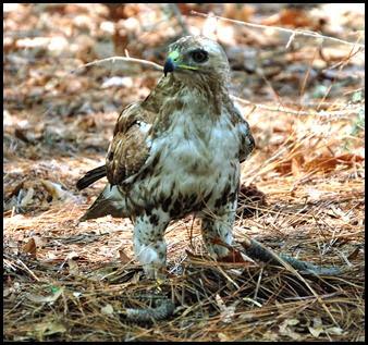13a - Hawk