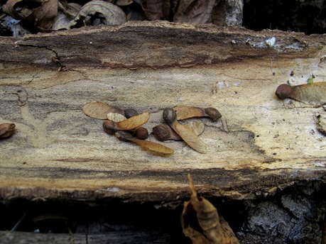 maple seeds on log