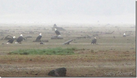 Eagles in the rain