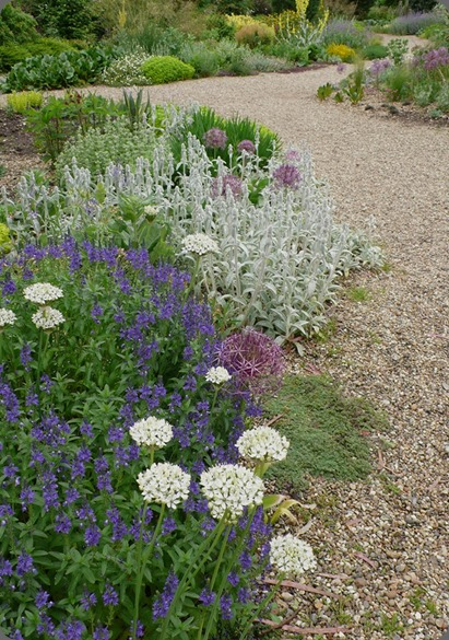 garden allium nigrum and veronica