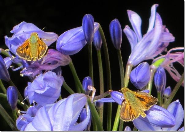 Butterflies19Aug2012