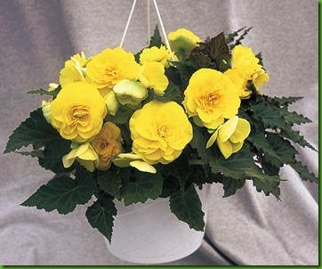 Begonia Dobrada Amarela