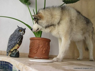 The owl and the malamute (3)