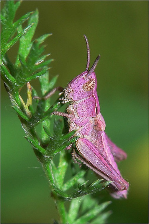 Pink Grasshopper 00