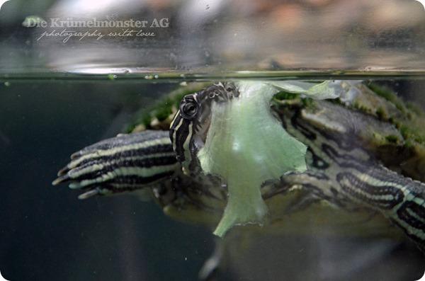 Zoo Frankfurt Wasserschildkröte 150813
