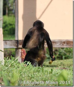monkey gone