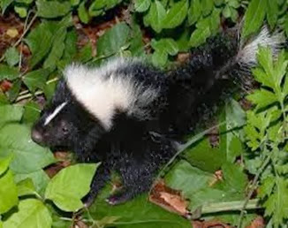 Amazing Pictures of Animals, Photo, Nature, Incredibel, Funny, Zoo, Skunks, Polecats, Mammals, Alex (9)