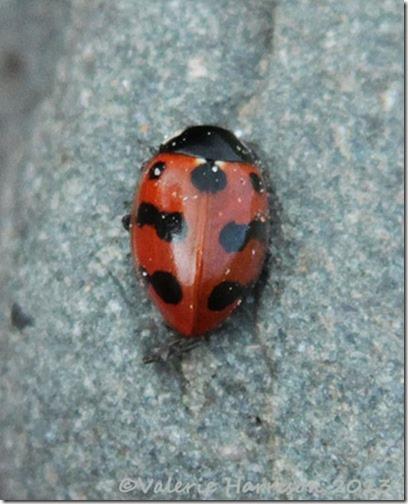 11-11-spot-ladybird