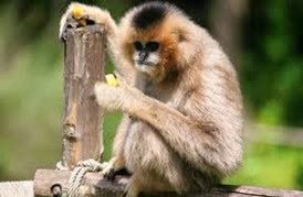Amazing Pictures of Animals, Photo, Nature, Incredibel, Funny, Zoo, Gibbons, Hylobatidae, Primate, Mammals, Alex (7)