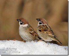 tree-sparrow-59x_13a219
