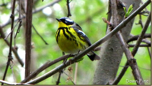 Chestnut-sided Warbler (5)