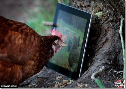 ipad-galinha2