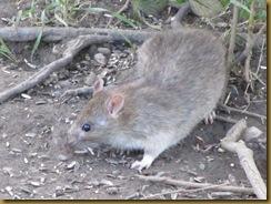 IMG_0193 Ratty