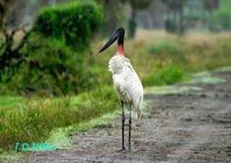 Amazing Pictures of Animals, Photo, Nature, Incredibel, Funny, Zoo, Jabiru mycteria, Bird, Aves, Alex (4)