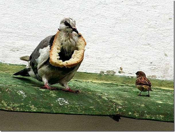 silly-pigeons-birds-2