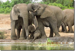 Elephants along Kazinga Channel, Queen elizabeth National Park