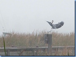 6534a Texas, South Padre Island - Birding and Nature Center - old section of boardwalk - Great Blue Heron in flight