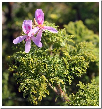 110211_AnniesAnnuals_Pelargonium-denticulatum_01