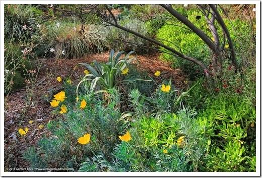 141026_UCDA_Hunnemannia-fumariifolia_004