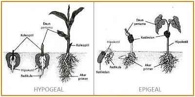 EPIGEAL HYPOGEAL[1]