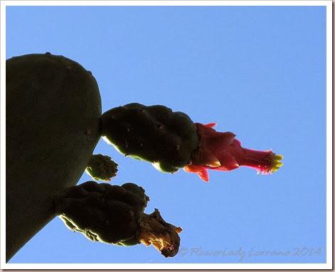 01-14-cactus-flower2