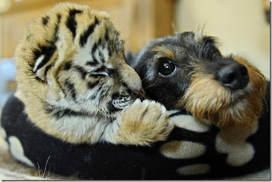 GERMANY-ANIMALS-DACHSHUND-TIGER-OFFBEAT