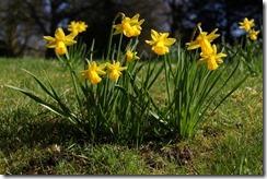 EWG 20.3.12 (25) Narcissus 'Tete a Tete'