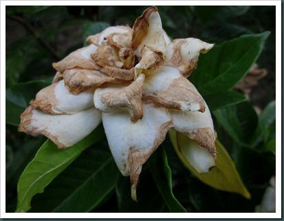 gardenia0627 (3)