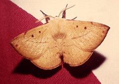 male moth