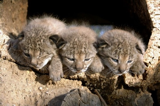 Time-Cutest Endangered Animals in the World-14-Iberian Lynx