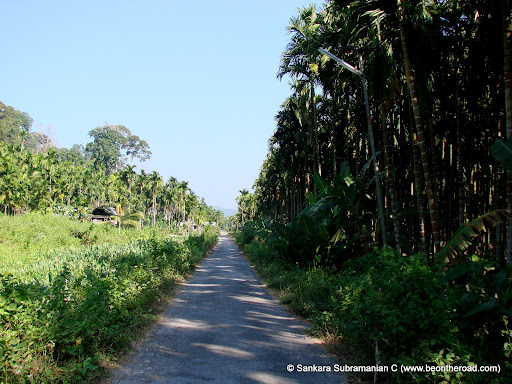 Narrow path surrounded by betel nut trees