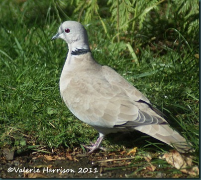 17 collared-dove-2