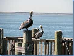 5939 Texas, South Padre Island - KOA Kampground - Pier 19 - Pelicans