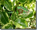 expat chameleon