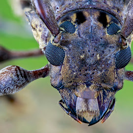 Longhorn by Sergio Frada - Animals Insects & Spiders ( macro portrait )