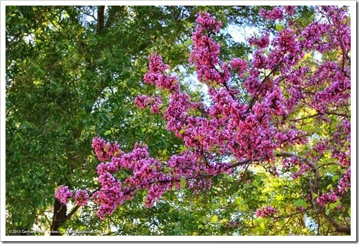 150307_UCDA_039_cercis-occidentalis