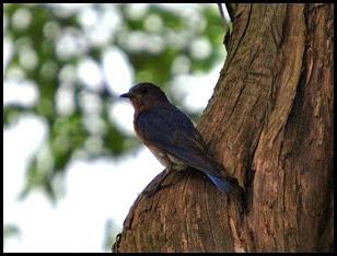 04b - Momma Bluebird