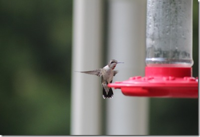 hummingbird 3
