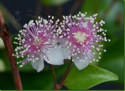Archirhodomyrtus beckleri