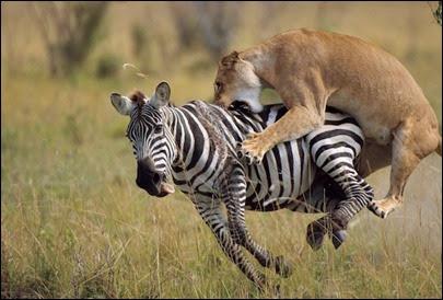 leoa atacando zebra