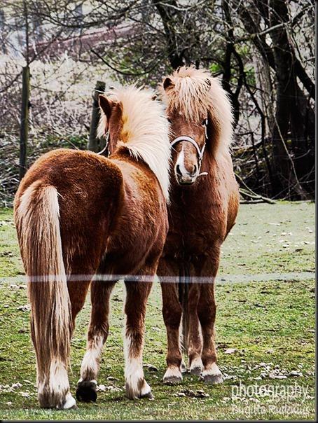 horse_20120418_islandic