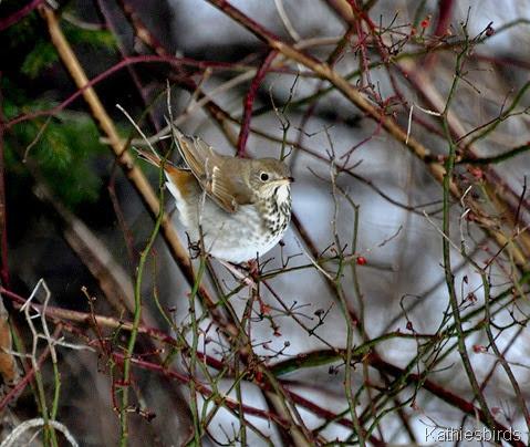 1. hermit thrush in yard-kab