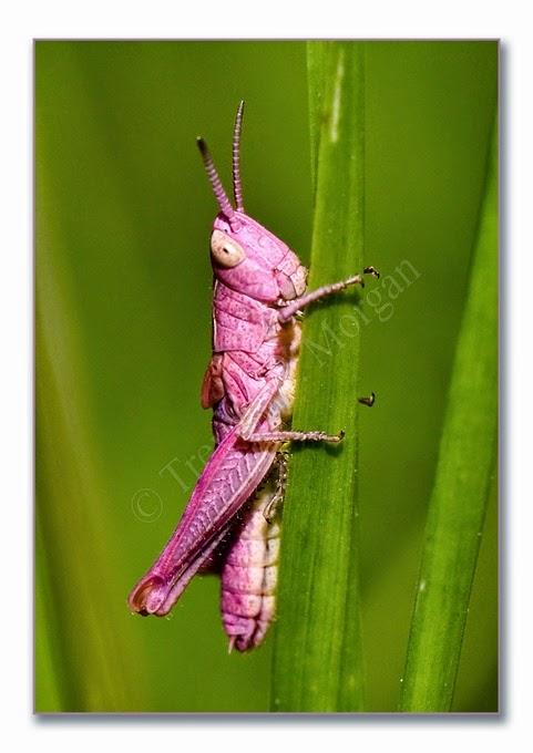 Grasshopper 9 m-n pink